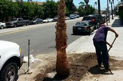 Tree planting in Sacramento