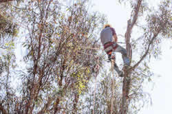 Tree pruning in Sacramento