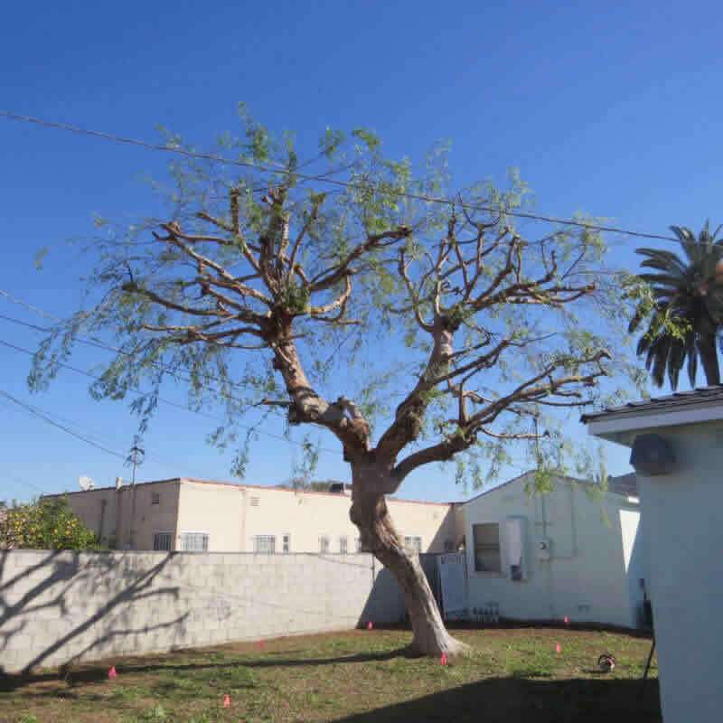 Gallery for Tree Pruning in Sacramento